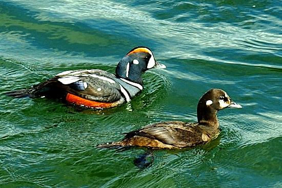 Die Kragenente (englisch treffender Harlequin Duck) lebt in Europa nur auf Island