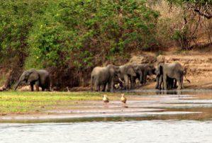 Elefanten am Rufiji, Tansania, Quelle: wikipedia.org